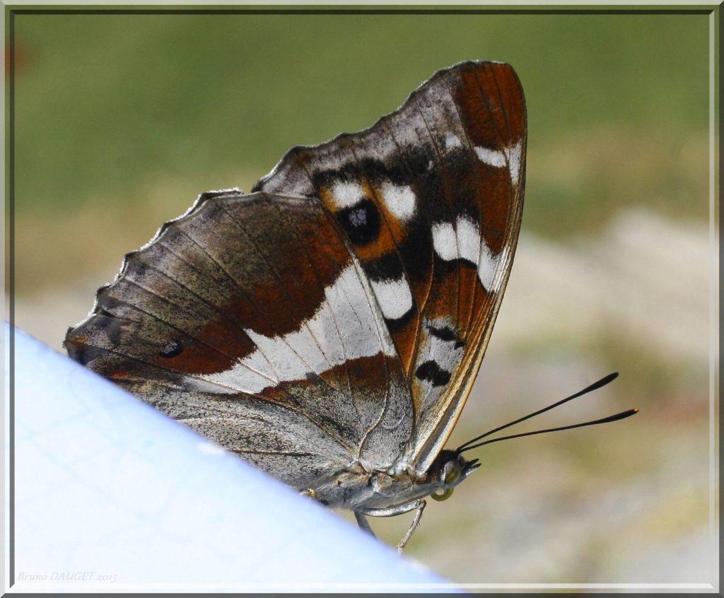 Grand Mars changeant posé ailes repliées