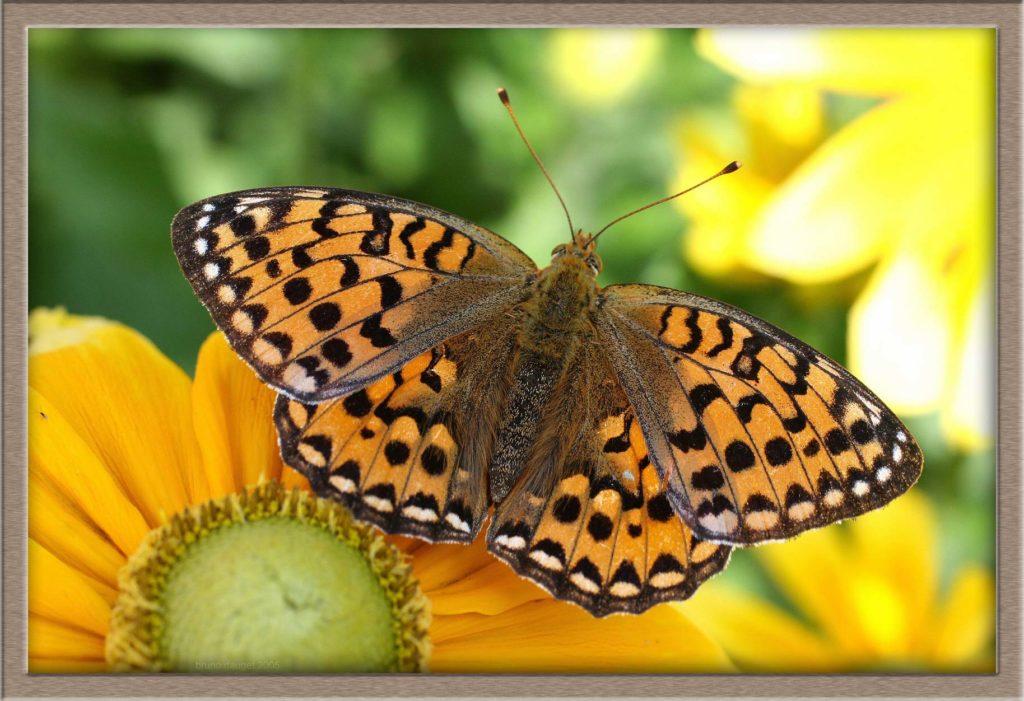 Grand Nacré sur fleur jaune de Rudbeckia ailes écartées