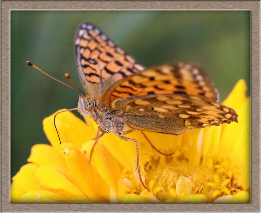 Grand Nacré femelle butinant une fleur jaune de Rudbeckia ailes écartées
