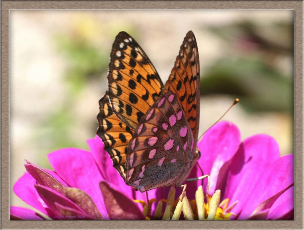 Grand Nacré femelle butinant fleur mauve de Zinnia ailes entre-ouvertes