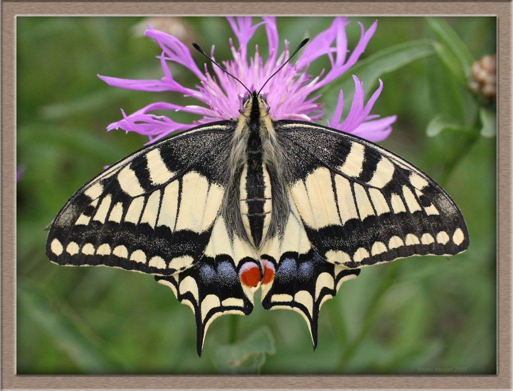 Machaon butinant fleur mauve de Centaurée ailes écartées