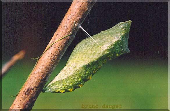 Chrysalide du Machaon fixée sur tige ligneuse