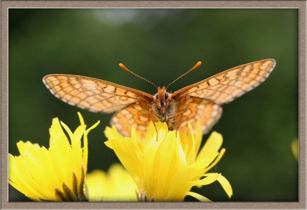Mélitée des marais posée sur fleur jaune ailes écartées