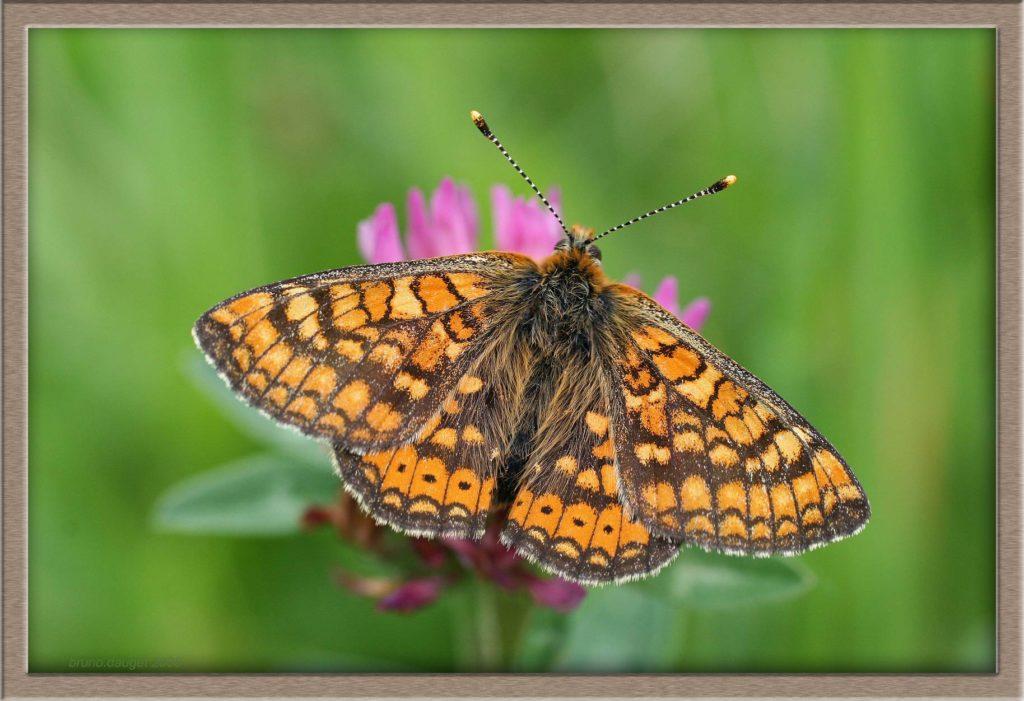 Mélitée des marais posée sur fleur de Trèfle ailes écartées