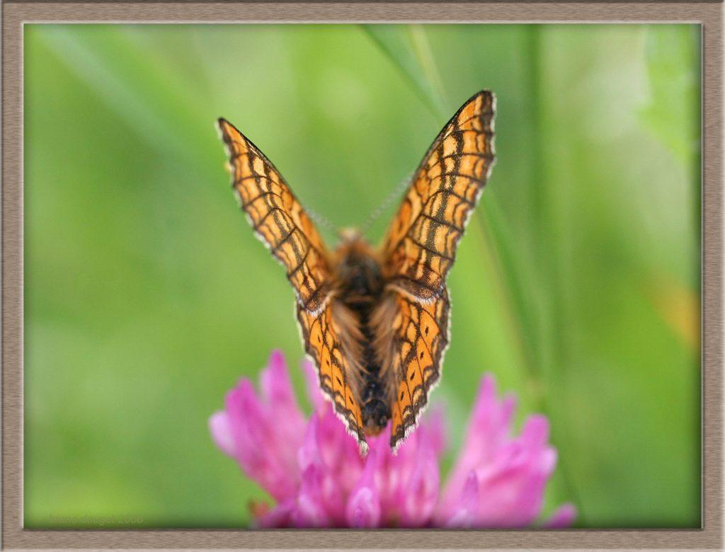 Mélitée des marais posée sur fleur de Trèfle ailes entre-ouvertes
