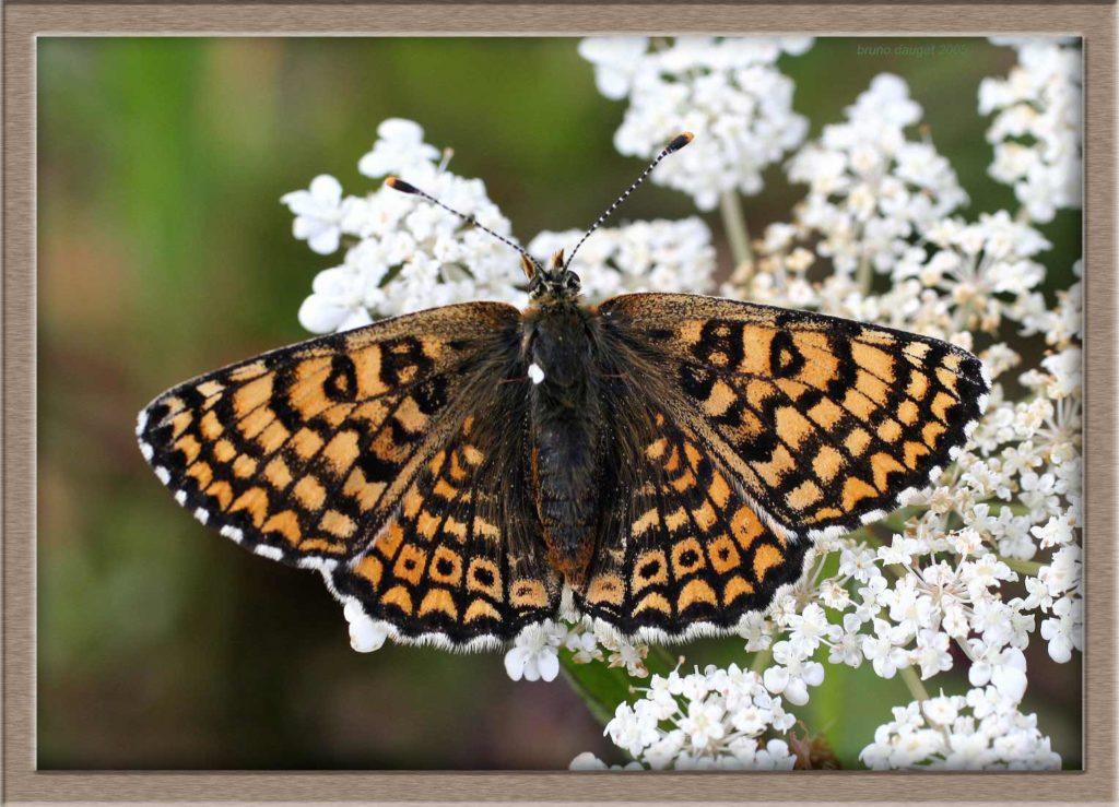 Mélitée du Plantain posée fleur d'Achilée ailes écartées