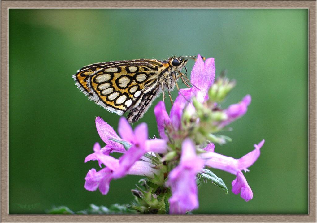 Miroir sur fleur mauve ailes repliées