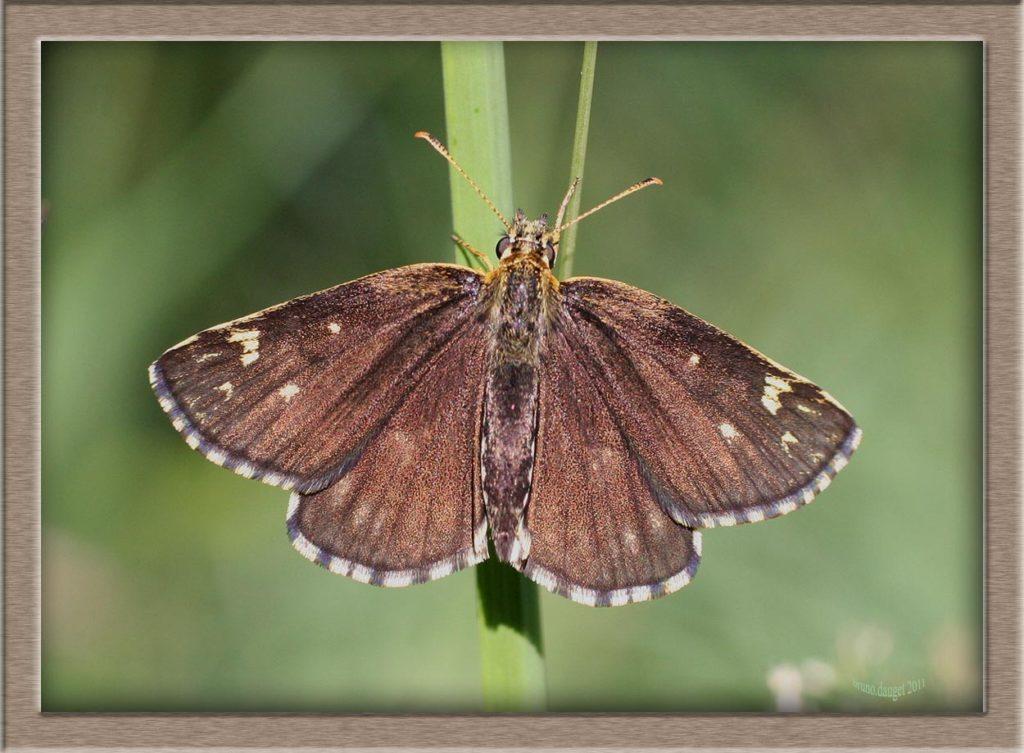 Miroir femelle posé sur herbe ailes écartées