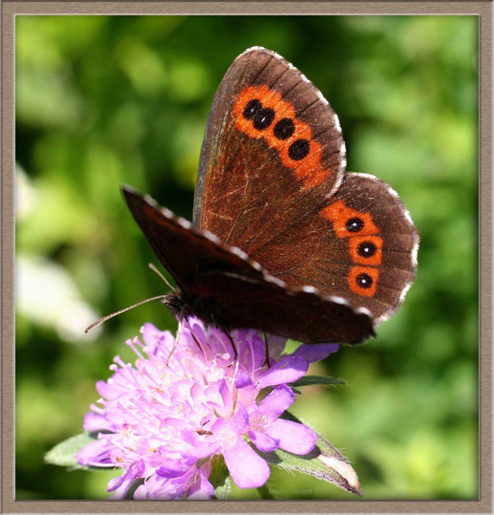 Moiré blanc-fascié butinant une fleur de Scabieuse ailes écartées