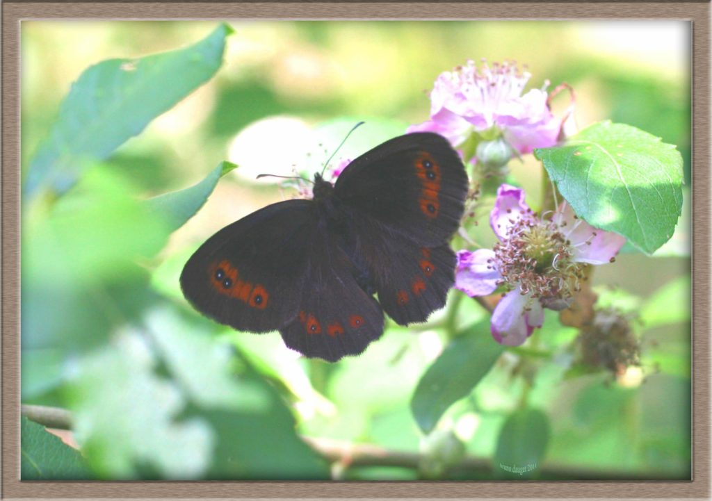 Moiré sylvicole posé sur fleur de Ronce