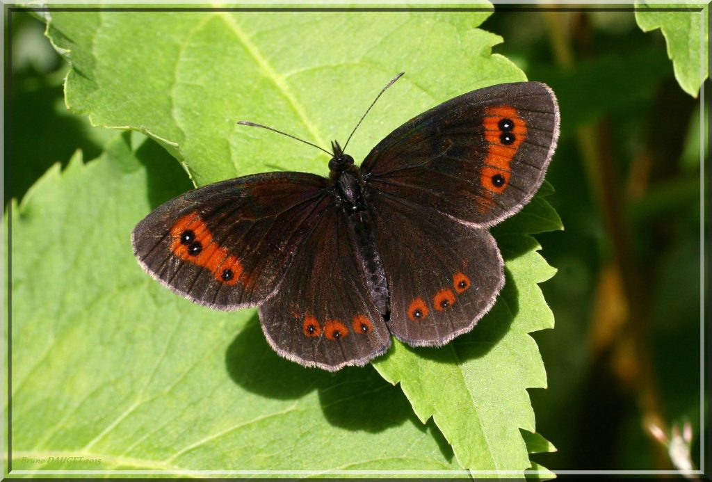 Moiré sylvicole posé sur feuille ailes écartées au soleil