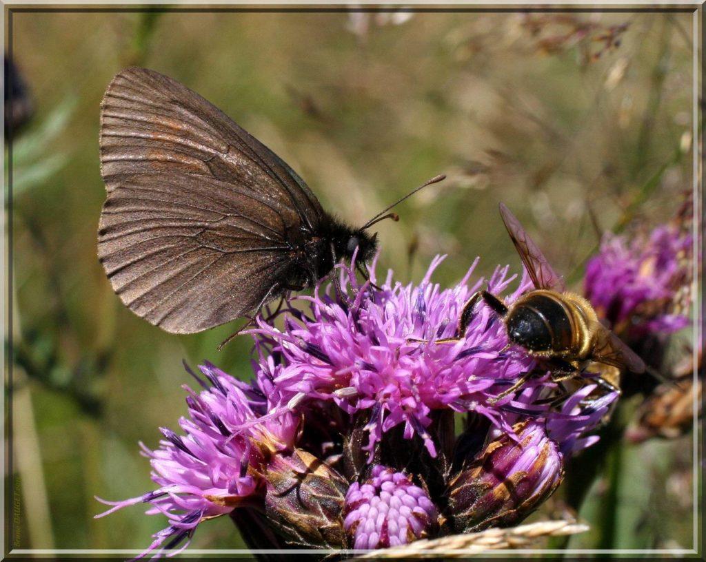 Moiré variable butinant fleurs de Cirse ailes repliées
