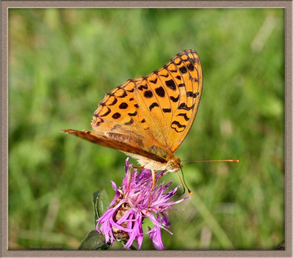 Moyen Nacré en train de butiner une fleur mauve de Centaurée ailes écartées