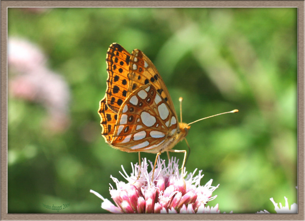 Petit Nacré posé sur une fleur ailes entre-ouvertes