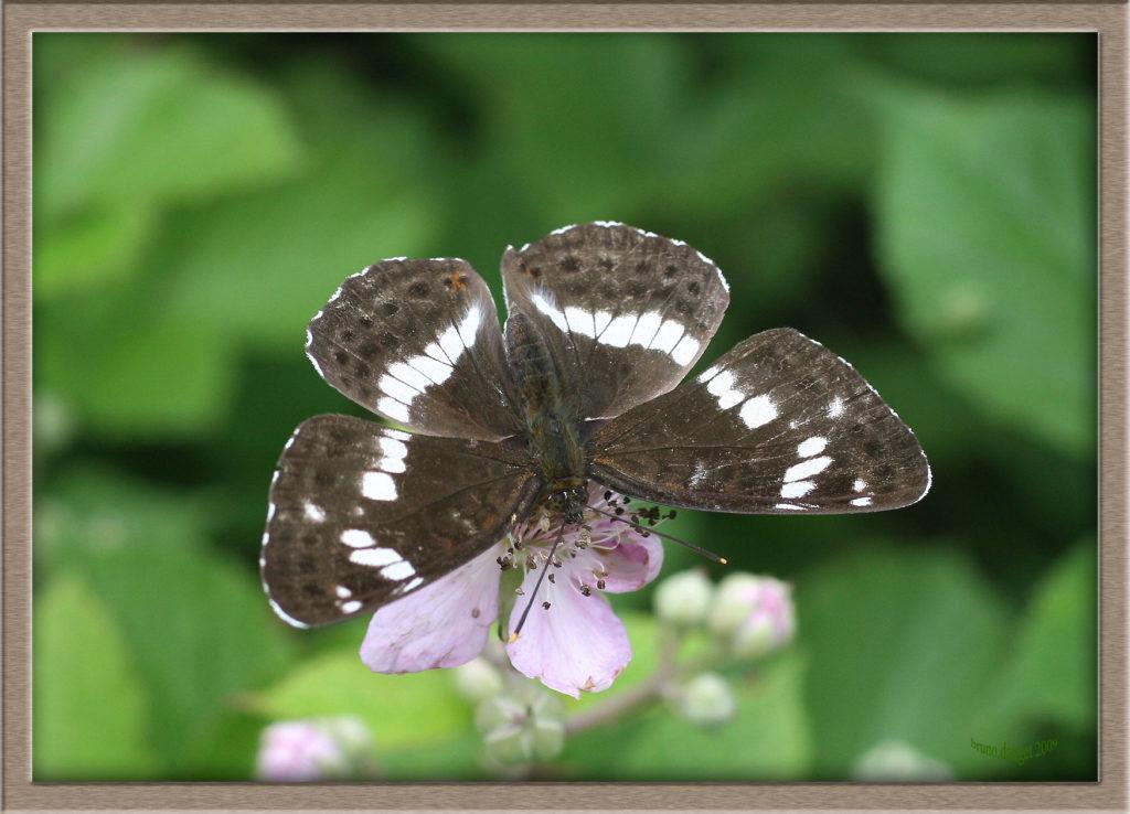 Petit Sylvain butinant fleur de Ronce ailes écartées
