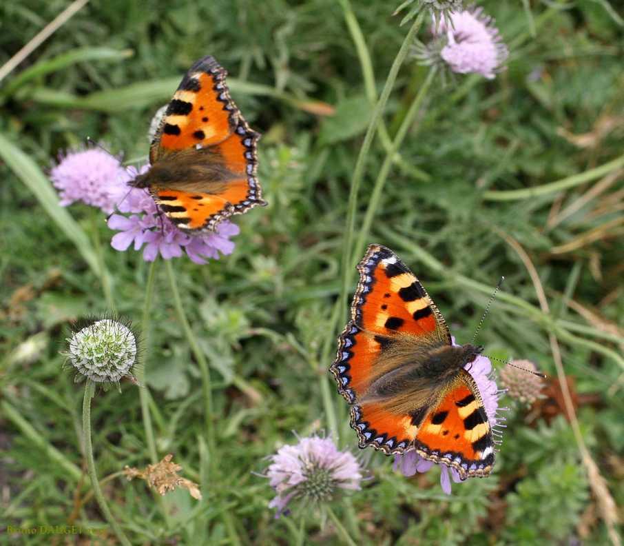 Deux Petite Tortue butinant des fleurs de Scabieuse