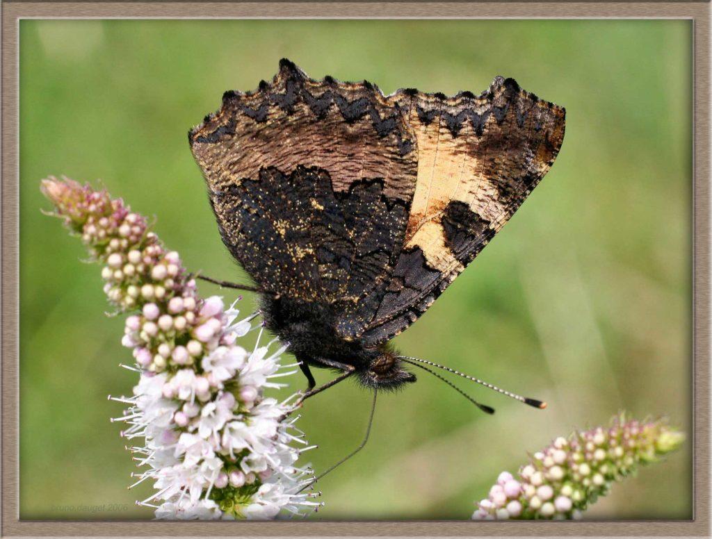 Petite Tortue butinant une fleur de Menthe ailes repliées