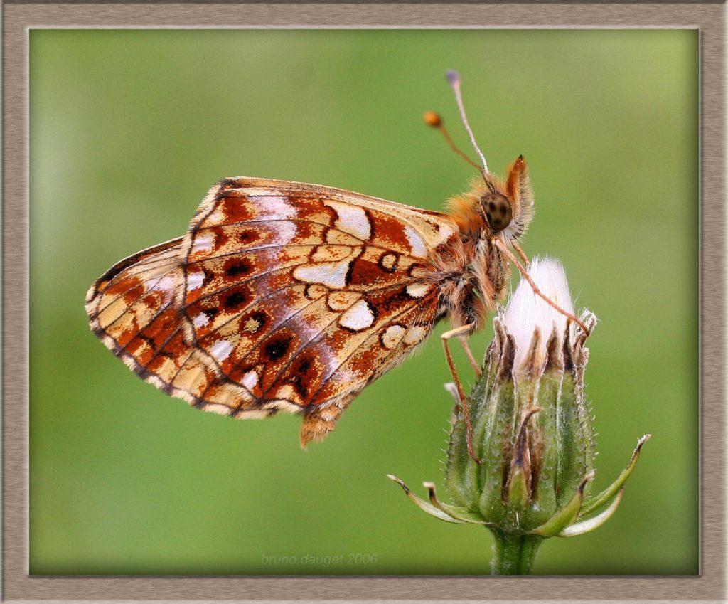 Petite Violette posée sur fleur fanée de Pissenlit ailes repliées