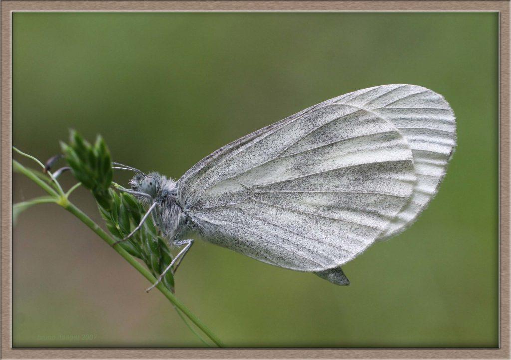 Piéride de la Moutarde posée sur une graminée ailes repliées
