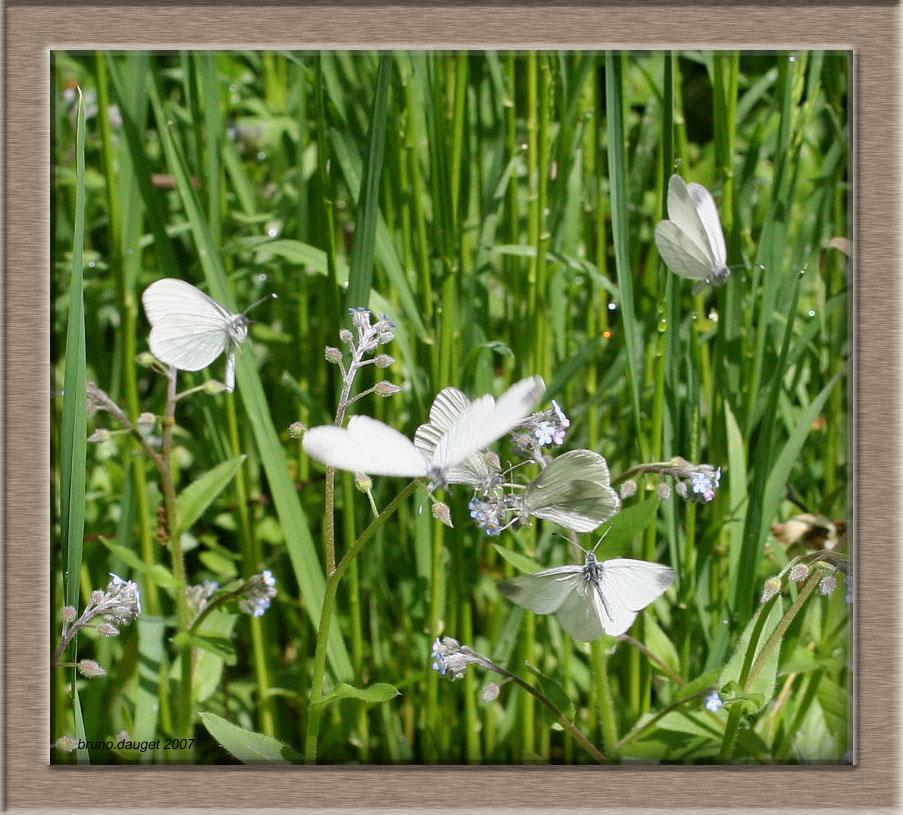 Groupe de Piéride de la Moutarde volant au dessus de fleurs de Myosotis