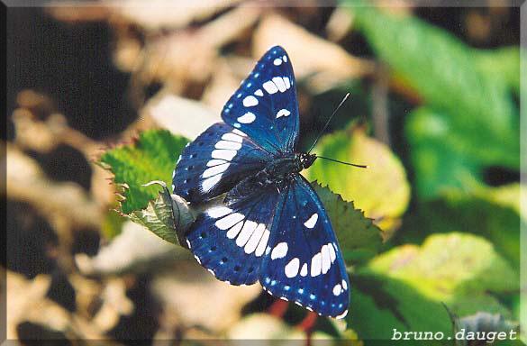 Sylvain azuré posé sur feuille ailes écartées avec reflets bleus métalliques