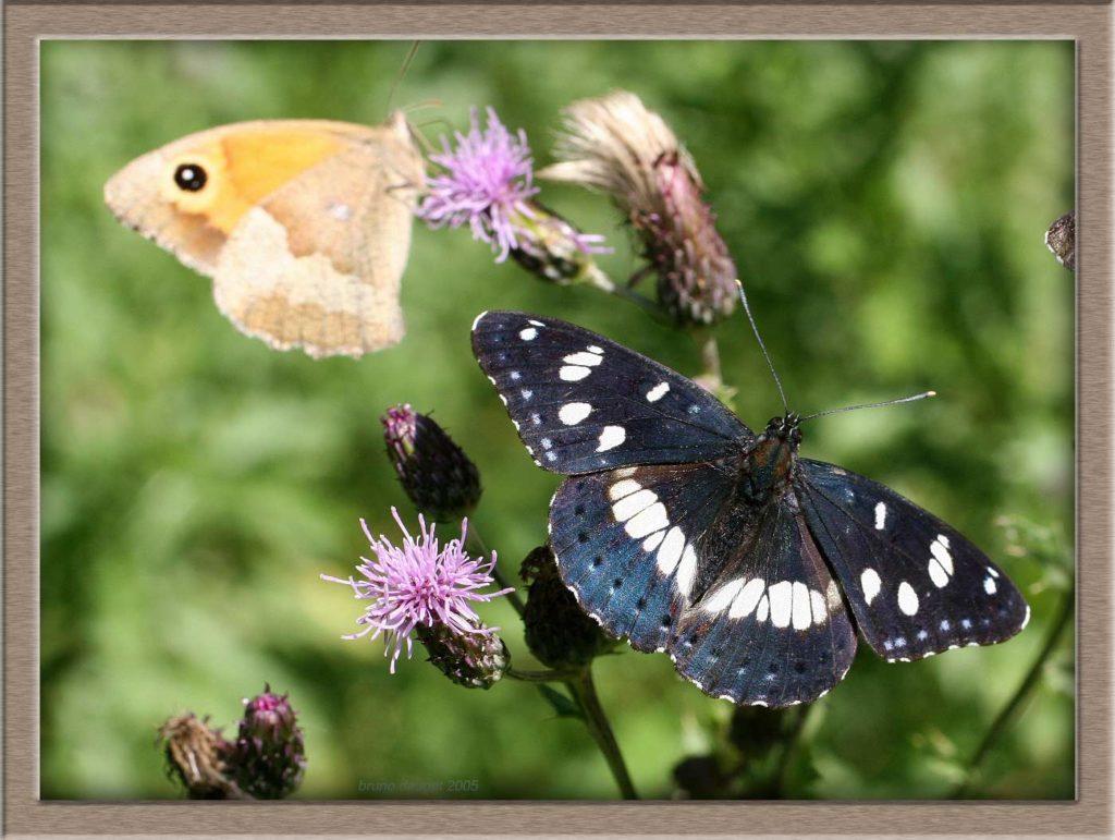 Sylvain azuré sur fleur de Cirse en compagnie d'un Myrtil
