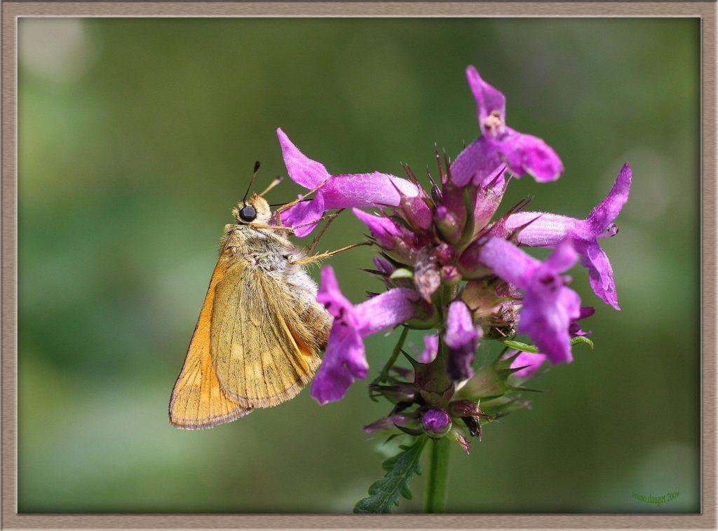 Sylvaine posée sur une fleur mauve