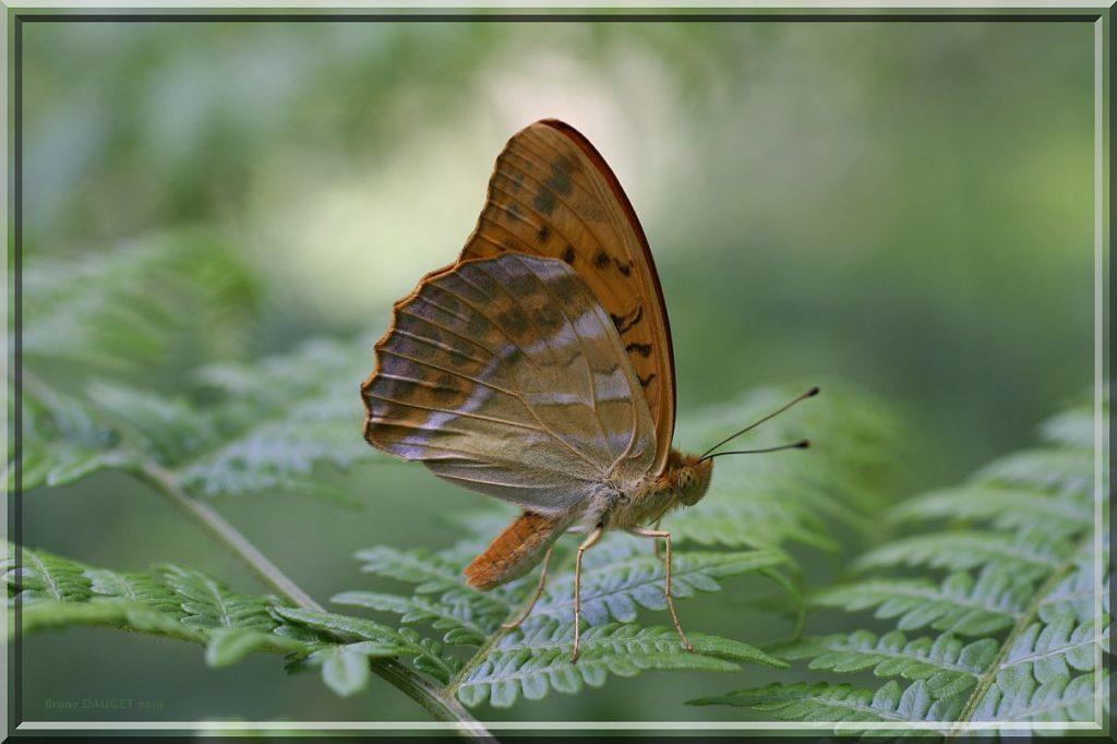 Tabac d'Espagne mâle posé sur une feuille de Fougère ailes repliées