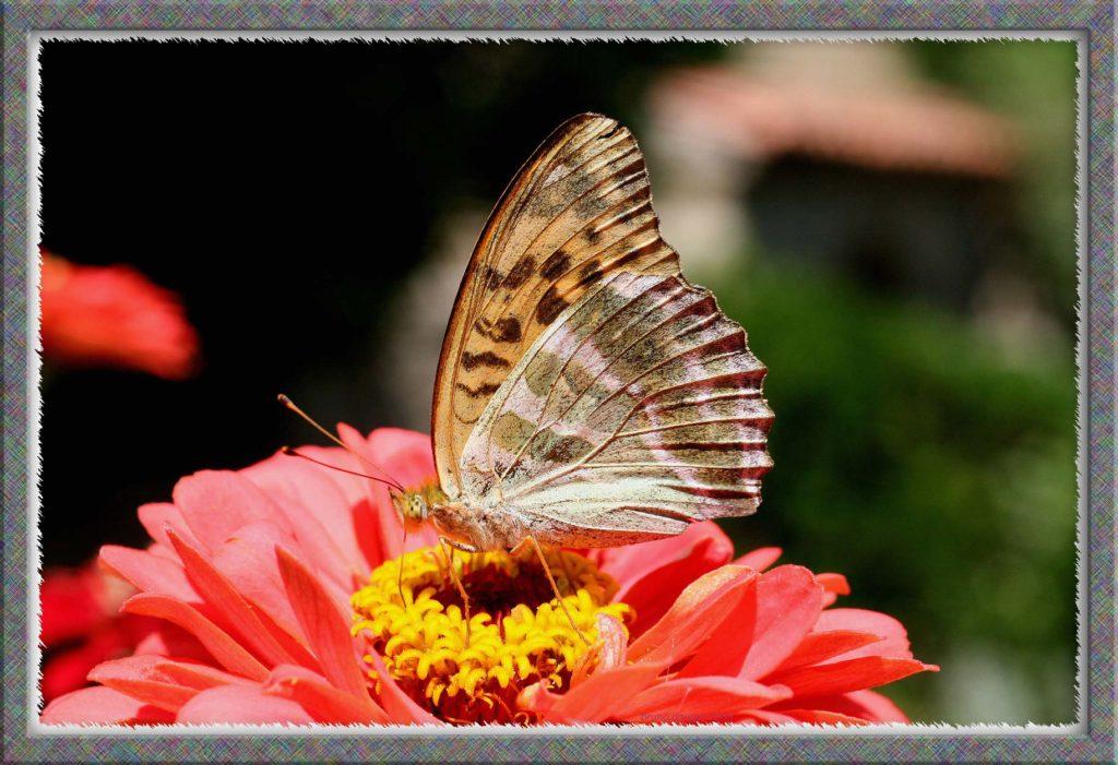 Tabac d'Espagne femelle en train de butiner une fleur rouge de Zinnia ailes repliées