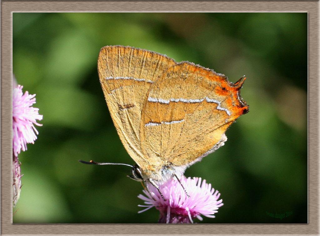 Thécla du Bouleau mâle sur fleur de Cirse ailes repliées