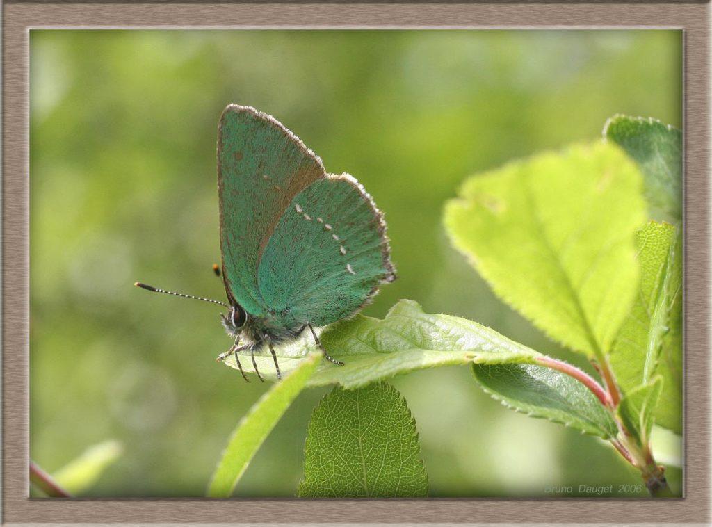 Thécla de la Ronce posé sur feuille ailes repliées