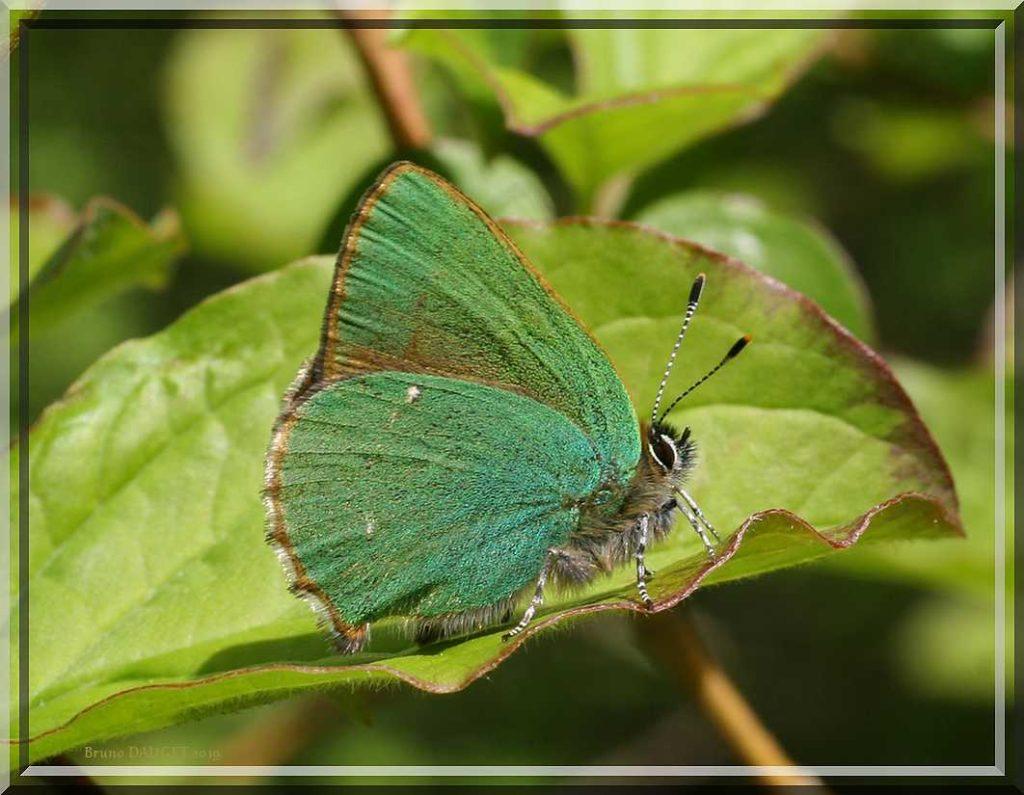 Thécla de la Ronce posé sur feuille de Nerprun ailes repliées