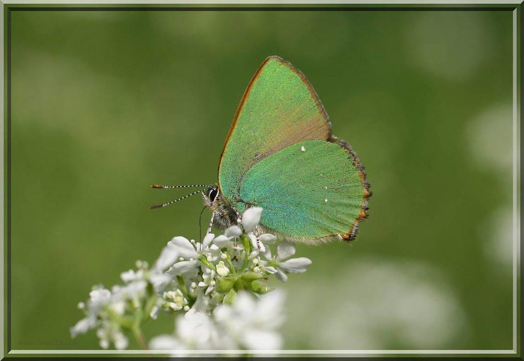 Thécla de la Ronce butinant une fleur blanche ailes repliées