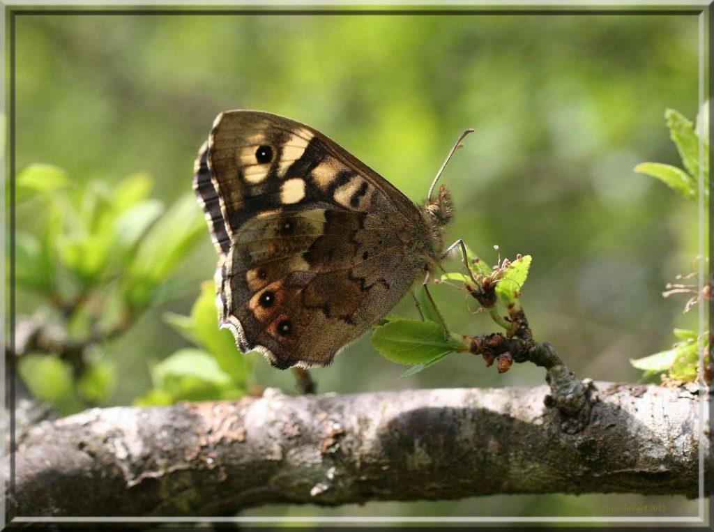 Tircis posé sur un bourgeon de feuilles printanières ailes repliées