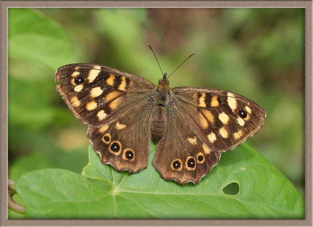 Tircis femelle posée sur une feuille ailes écartées