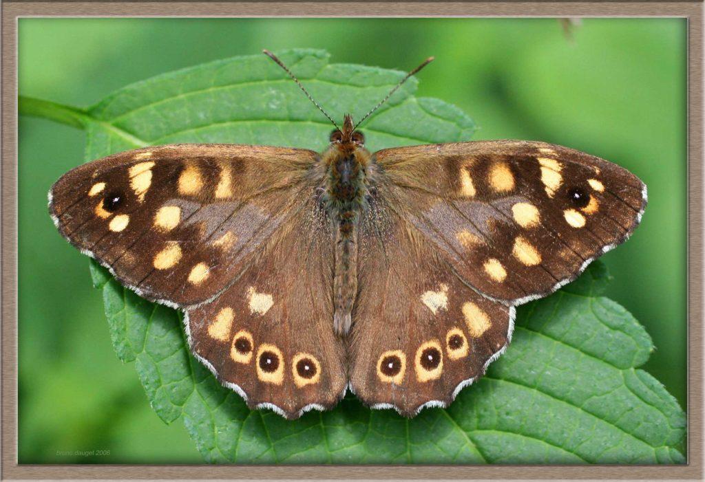 Tircis mâle posé sur une feuille ailes écartées