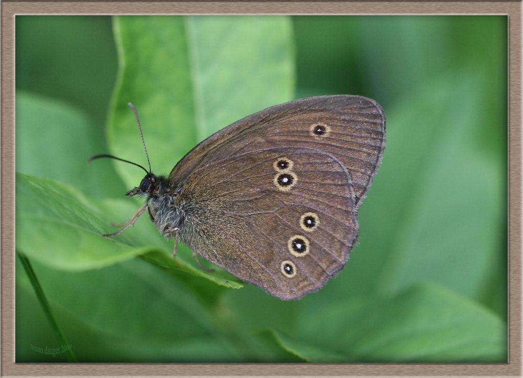 Tristan sur feuille ailes repliées
