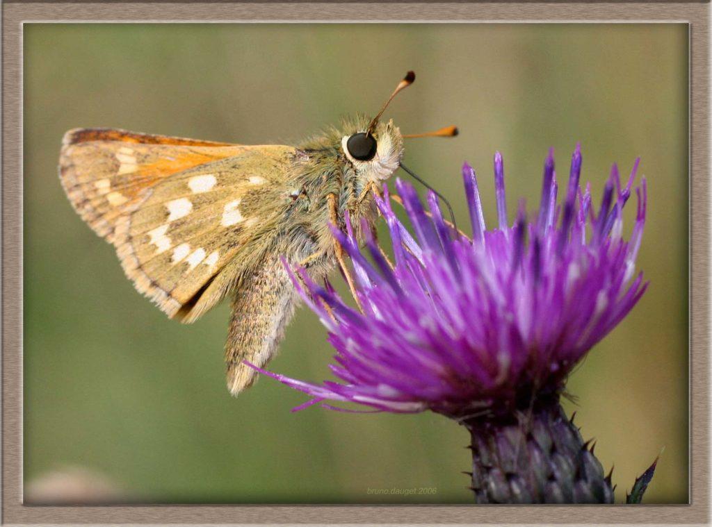 Virgule butinant fleur mauve de Cirse ailes repliées
