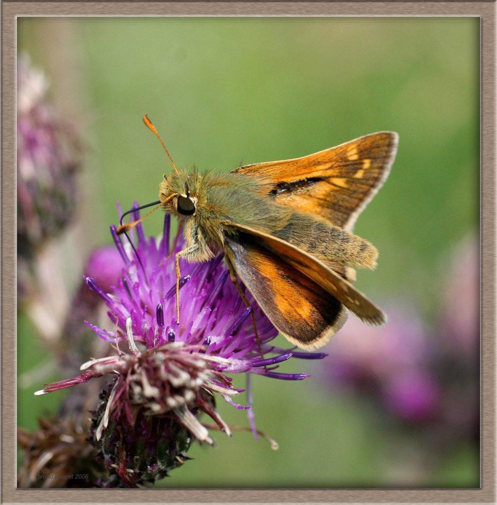 Virgule butinant fleur mauve de Cirse ailes écartées