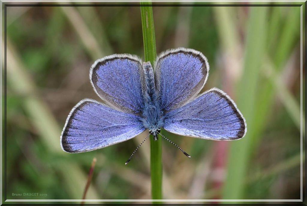 Azuré de la Chevrette posé sur une herbe ailes écartées