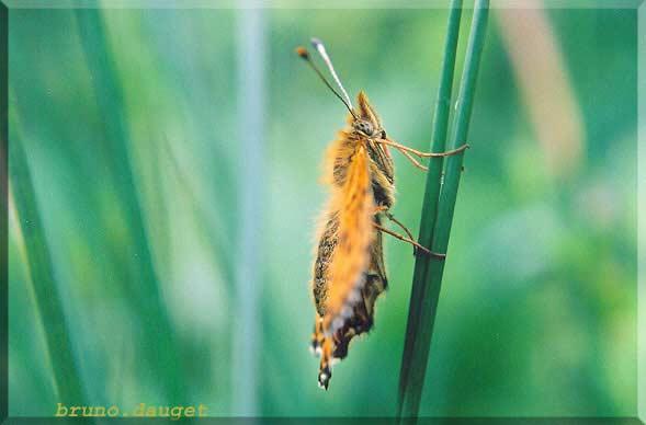 Nacré porphyrin posé sur herbe ailes écartées vu de profil