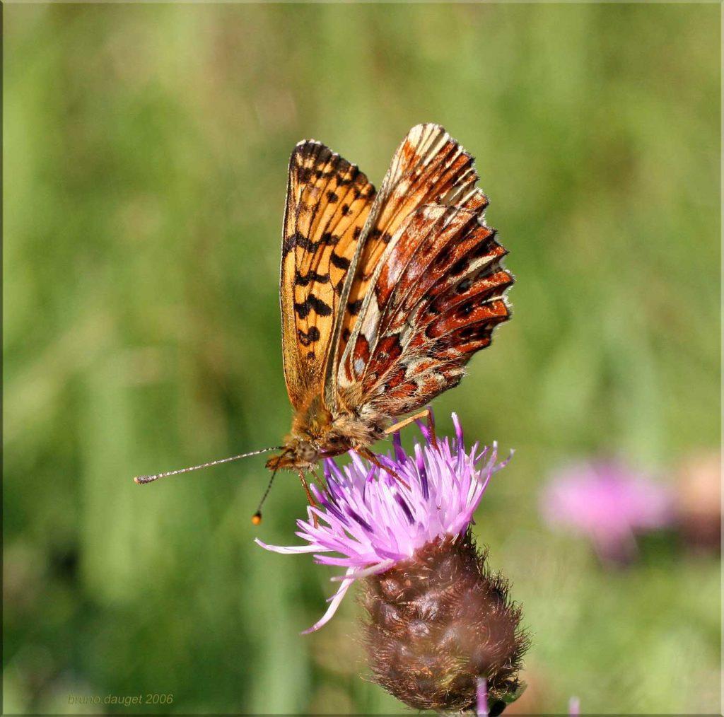Nacré porphyrin butinant fleur mauve de Cirse ailes entre-ouvertes