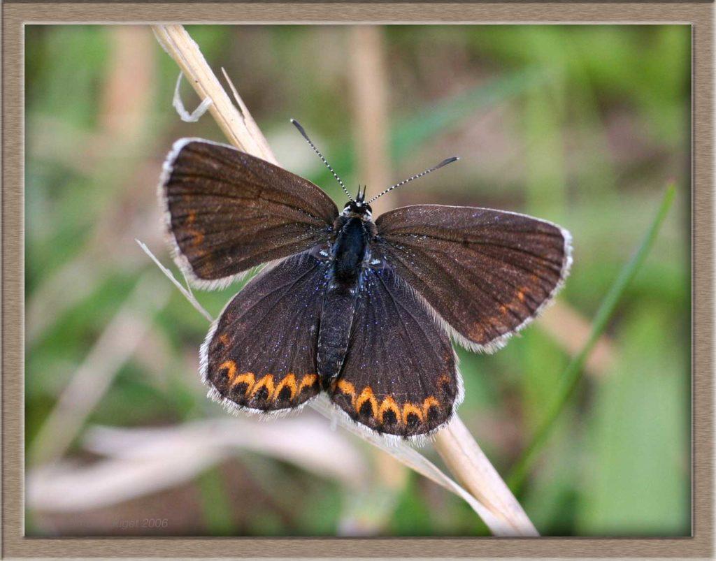Azuré de l'Ajonc femelle posé sur herbe sèche ailes écartées