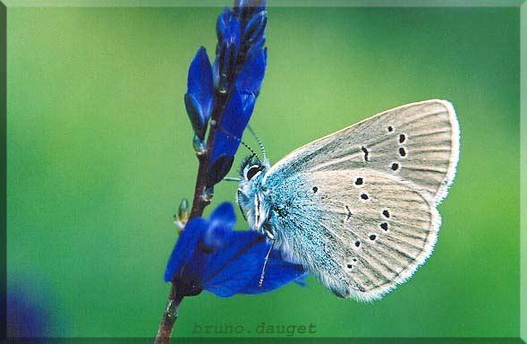 Azuré des Anthyllides posé sur fleur bleu ailes repliées