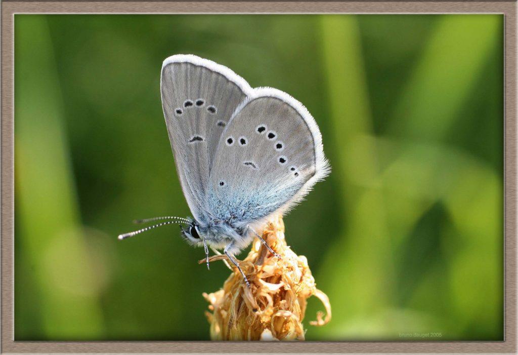 Azuré des Anthyllides mâle posé ailes repliées
