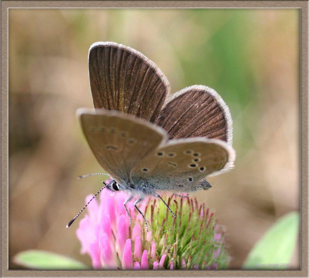 Azuré des Anthyllides femelle posée sur fleur de Trèfle ailes entre-ouvertes