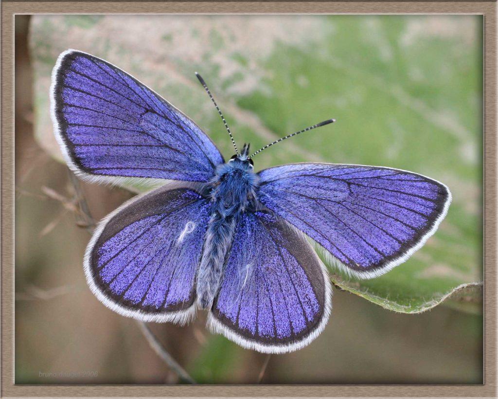 Azuré des Anthyllides mâle posé sur feuille ailes écartées