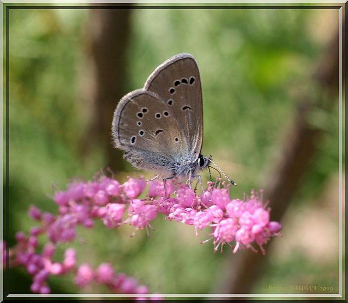Azuré des Anthyllides femelle posée sur fleur rose de Tamaris ailes repliées
