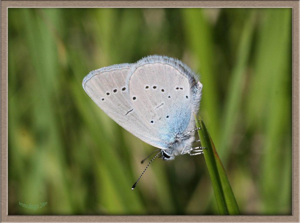 Azuré de la Chevrette posé sur herbe ailes repliées