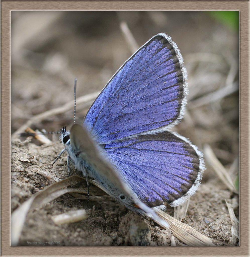 Azuré du Genêt mâle posé au sol ailes écartées